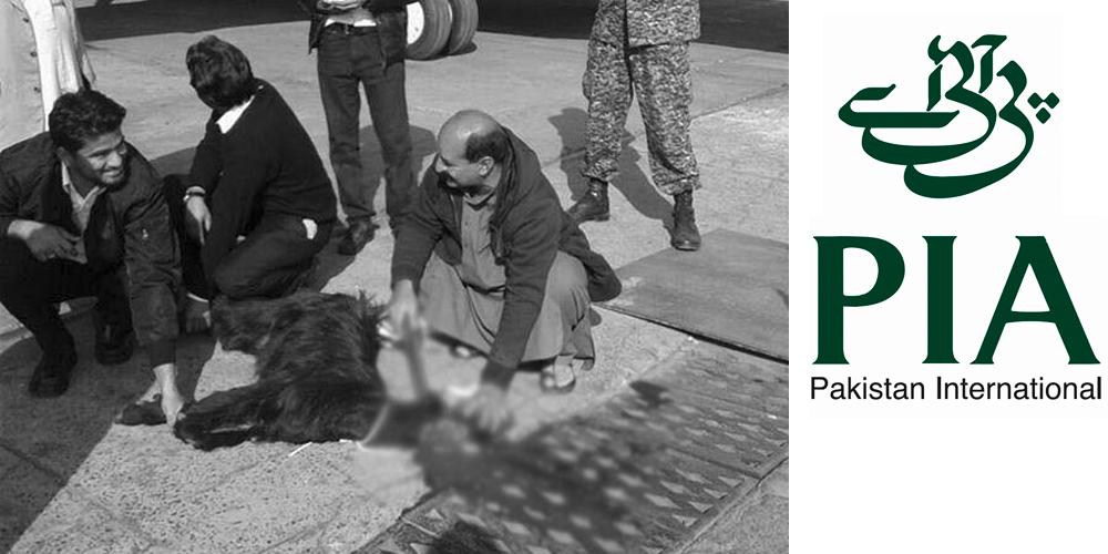 3a - Пакистанская авиакомпания перед вылетом самолета принесла в жертву козла