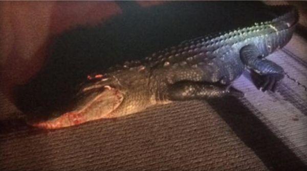 gator - Столкновение частного самолета с ... крокодилом