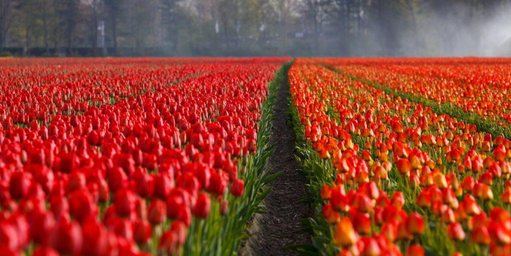 tulips 21690 1920 1024x513 - Дни бюджетных и чартерных авиакомпаний в аэропорту Схипхол сочтены