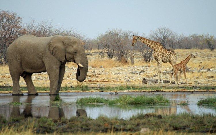 slon ziraf na vodopoe - Африка вне времени или приглашение на сафари в Намибию