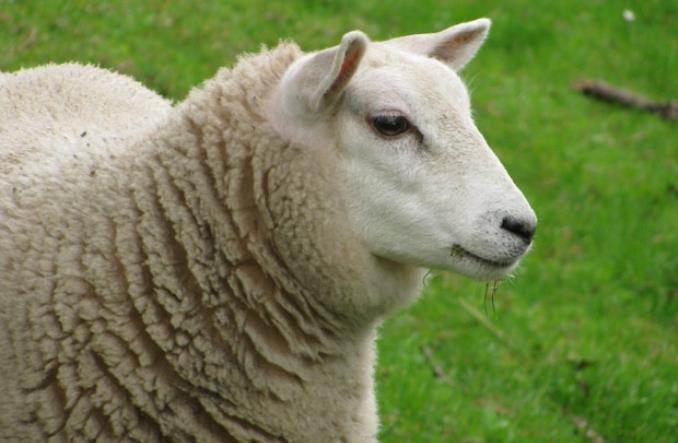 zaventem - Газоны в брюссельском аэропорту Завентем будут стричь... овцы